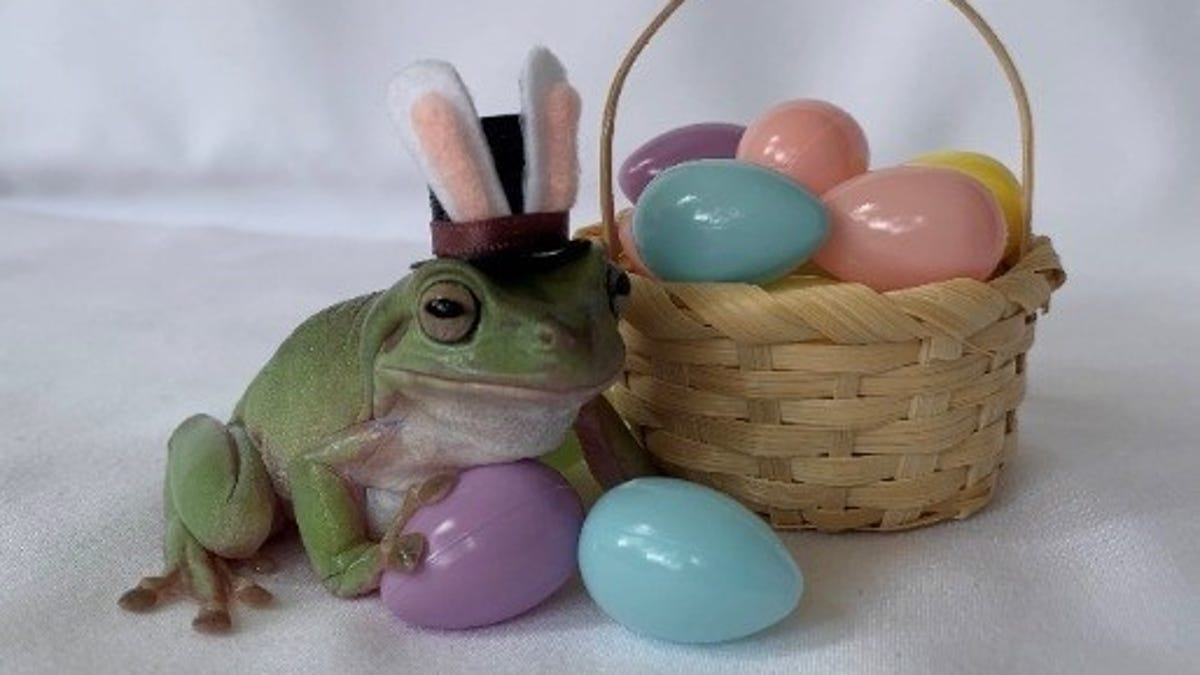 Americans voted for an Australian White's tree frog named Betty to be the 2021 Cadbury Bunny